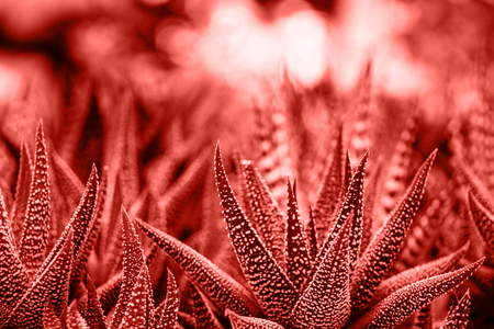 Trend concept color of the year 2019 Living Coral. Cactus Haworthia a genus of miniature succulent herbaceous plants of the subfamily