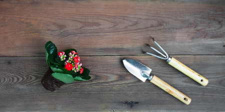 Kalanchoe plant with red flowers with a clod of earth for planting garden tools shovel and rake. Top view copy space web banner 스톡 콘텐츠