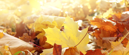 Golden autumn colorful maple leaves during leaf fall lying on the ground in the warm sunshine in park or forest. Nature panoramic background. Free copy space for template. Banner, close up.