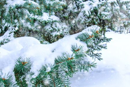 Branches of a beautiful forest spruce covered with fresh snowdrift under snowfall outdoor. Nature background or Christmas card concept. Copy space for text.