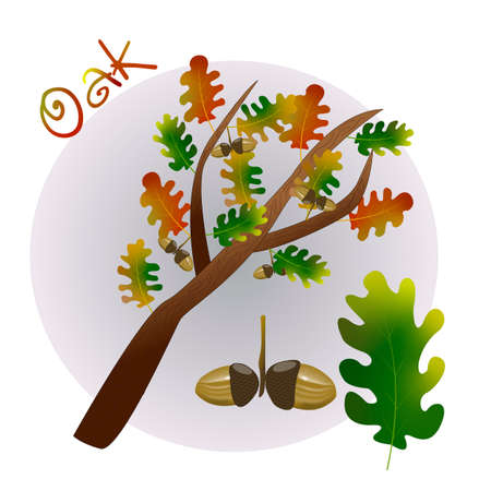 vector oak tree life cycle on white background Vetores