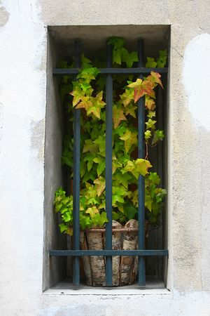 ivy in the window photo