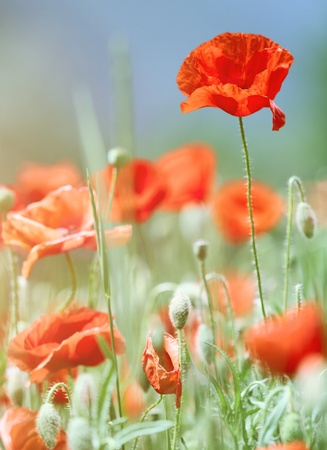 Close-up of wild poppies growing in a green grassy meadow photo