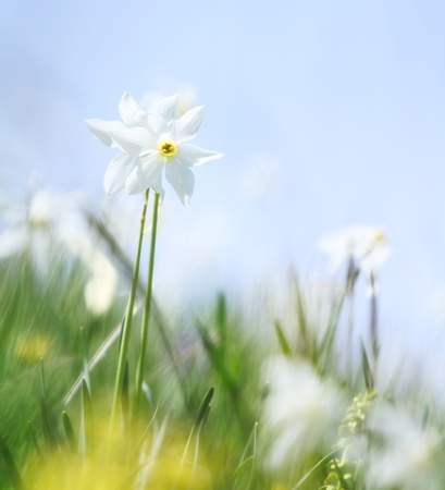 Close-up of wild narcissus growing in a green grassy meadow photo