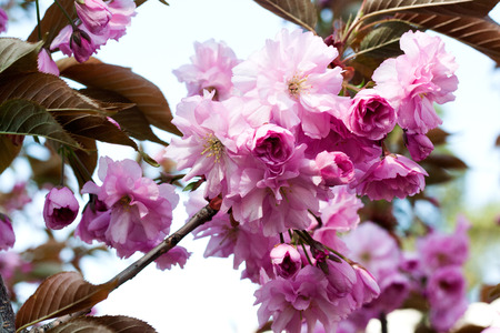 Pink cherry blossoms in springtime. Sakura flowers blooming.