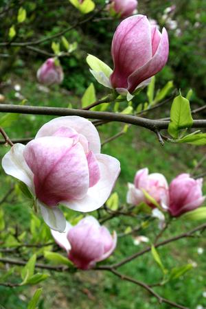 magnificence: magnolia blossom