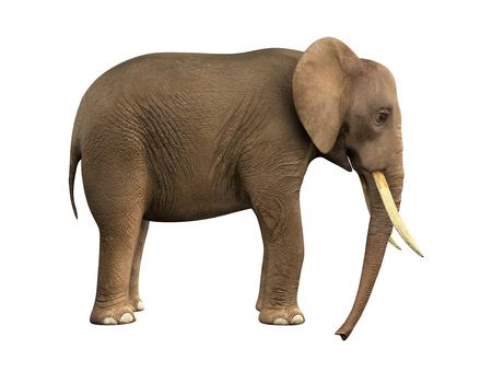 powerfully: Elephant. Isolated on white background Stock Photo
