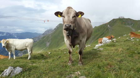 kine: Alpine cow