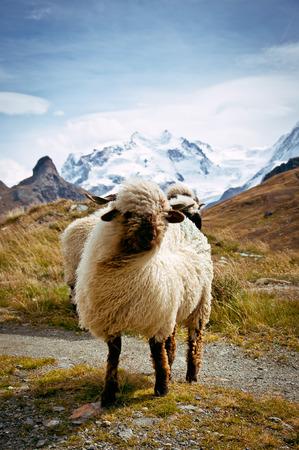 ovis: Blacknosed Swiss sheeps (Ovis aries), Swiss Alps, Switzerland
