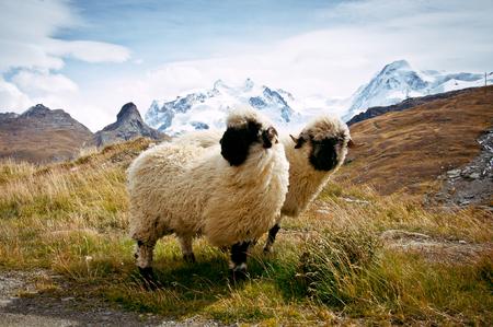 rock wool: Two Blacknosed Swiss sheeps (Ovis aries), Swiss Alps, Switzerland