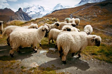 ovis: Flock of Blacknosed Swiss sheeps (Ovis aries), Swiss Alps, Switzerland Stock Photo