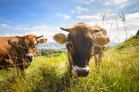 kine: Cows on an apls field