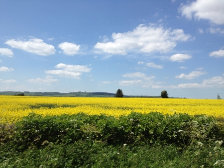 view: Countryside view of beautiful yellow rapeseed plants