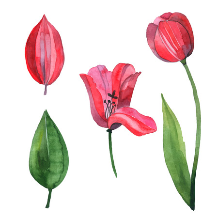 red tulip: Watercolor vector set with red tulip
