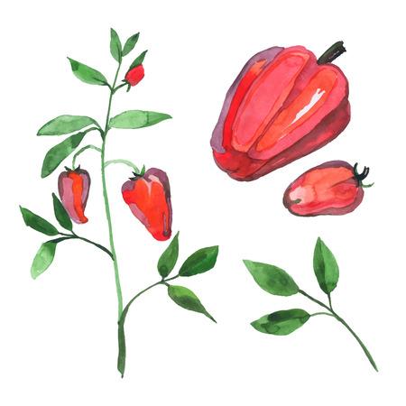 capsicum plant: Set of watercolor red capsicum pepper plant Illustration