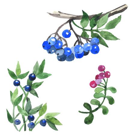 bramble: Watercolor hand drawn wild berries. Vector illustration Illustration