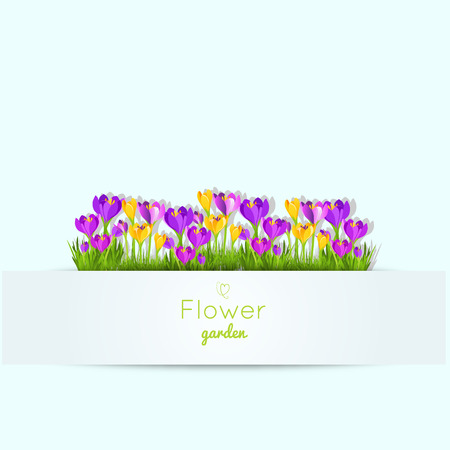 garden flowers: Spring illustration with crocus garden flowers.