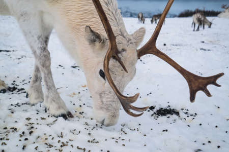White reindeer in a winter landscape in Norway Stock Photo