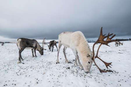 Reindeer in a winter landscape in Norway Stock Photo