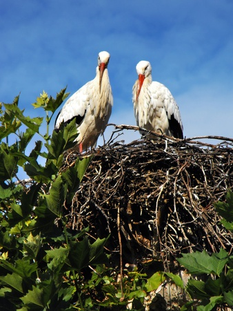 Storks nesting near the Parc de la Orangerie, Strasbourg, France