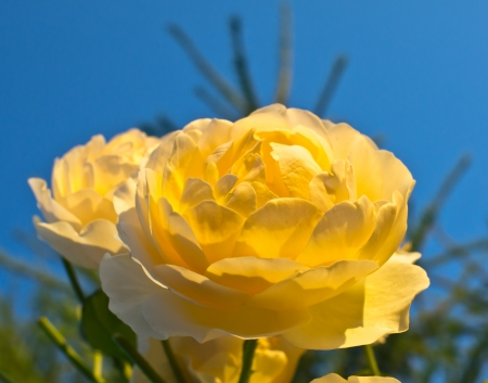 branch of beautiful yellow roses Stock Photo