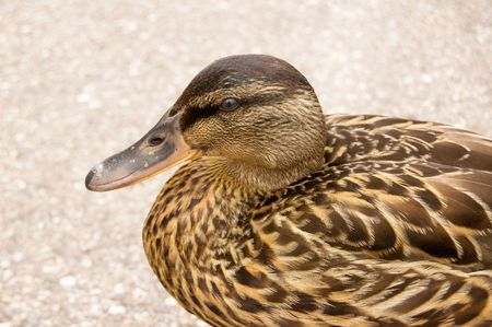webbed: a beautiful duck watching everything