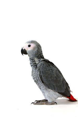 red tale parrot isolated on white Stock Photo