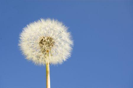 posterity: Dandelion against a blue sky