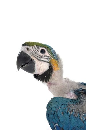 head of a  macaw