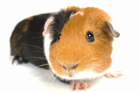 curious guinea pig on a white background