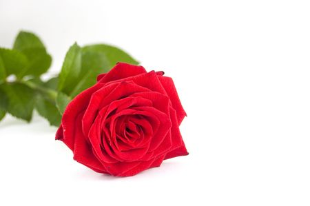 red rose with green leafs on white background (copyspace) Stock Photo - 3699289