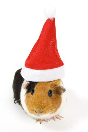 christmas guinea pig: guinea pig wearing a christmas hat isolated on white