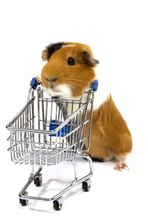 guinea pig is making shopping with a shopping car on white photo