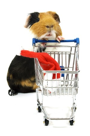 christmas guinea pig: guinea pig is shopping for a christmas hat on white Stock Photo