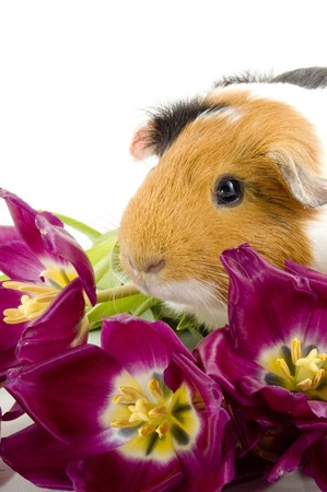 guinea pig between purple tullips on white photo