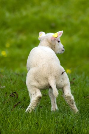 cute little lamb is urinating in a fresh green meadow photo