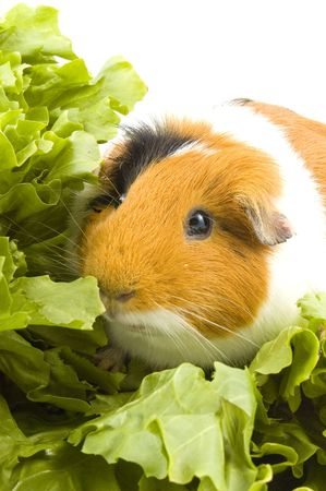 guinea pig is sitting between endive leafs on white photo