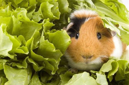 guinea pig is sitting between endive leafs photo