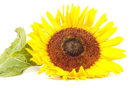 Single sunflower isolated on white background photo