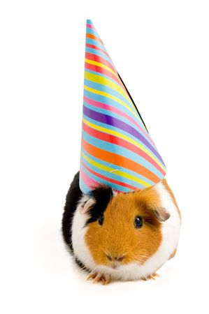 guinea pig wearing party hat isolated on white Stock Photo