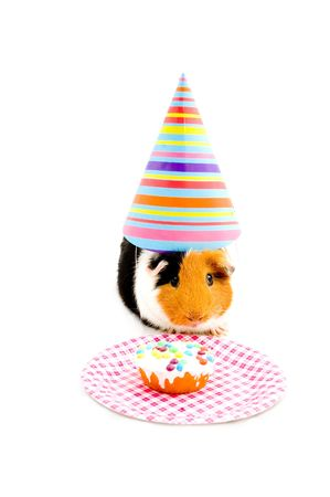 guinea pig wearing party hat is eating a birthday cake isolated on white  photo