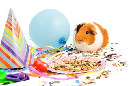 guinea pig is celebrating his birthday on white photo
