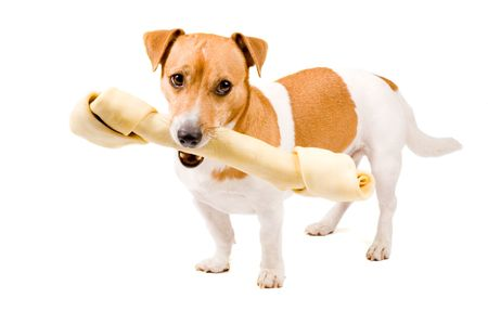 cute jack russel is holding a big bone isolated on white