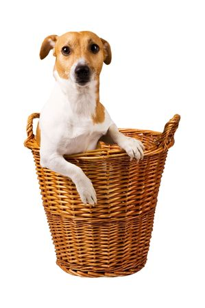 cute jack russel sitting in a basket isolated on white Stock Photo