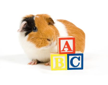 curious guinea pig is learning the ABC over white