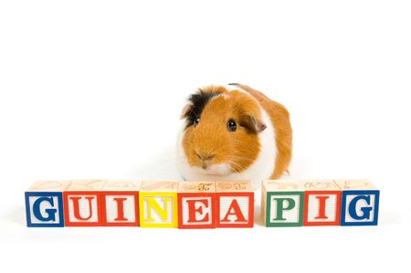 Guinea pig with the words on blocks isolated on a white background Stock Photo - 5821781