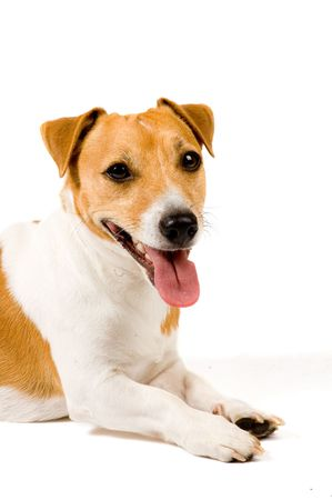 Portrait of an Adorable Jack Russell Terrier Isolated on a White Background photo