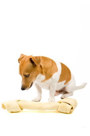 small jack russel whit a giant big bone isolated on white