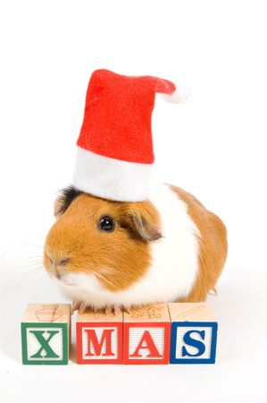 guinea pig is wearing christmas hat in front of xmas blocks isolated on white photo