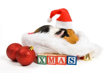 guinea pig surrounded by christmas attributes isolated on white Stock Photo